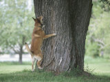 Curious German Shepherd Dog Barking Up a Tree Photographic Print