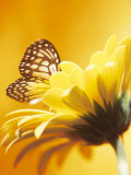 Close-Up Studio Shot of a Delicate Monarch Butterfly Resting on a Yellow Asteraceae Flower Photographic Print