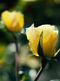 Close-Up of Beautiful Yellow Cultivated Rose Photographic Print