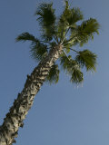 Tropical Palm Tree and Blue Sky, Photographic Print
