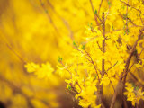 Selective Focus of Blooming Yellow Flower Buds on Branches Photographic Print