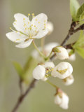 White Apple Blossom Flowers Blooming on Branch Photographic Print