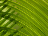 Close-Up of Palm Leaves Creating a Diagonal Background in Cameroon, Africa Photographic Print