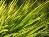 Close-Up of Verdant Green Blades of Grass Growing Photographic Print