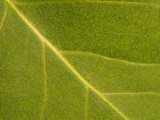 Close-Up of Leaf During Spring with Veins and Random Patterns Photographic Print