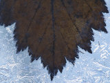 Close-Up of Delicate Maple Leaf Frozen in Ice Crystals Photographic Print