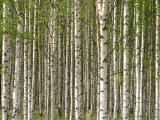 Abundant and Dense Forest of Birch Trees Photographic Print