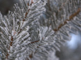 Delicate Snow-Covered Pine Needles on Tree Branches in Winter Photographic Print