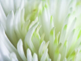 Close-Up of Petals on Beautiful White Chrysanthemum Flower Photographic Print