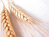 Harvesting Organic and Ripe Grains Photographic Print
