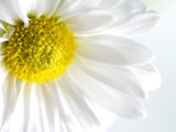 Close-Up of Blooming White Daisy Photographic Print