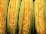 Corn Cobs on Husks Photographic Print