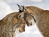Two Lynx Art