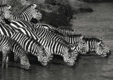 Zebra Herd Prints by Jean-Michel Labat