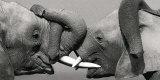Elefante africano Lámina por Jean-Michel Labat