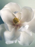 White Magnolias Prints by Ann Cutting