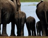 Elefanter Posters av Philippe Bourseiller