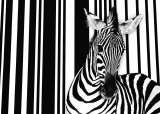 Zebra I Art by Tim Flach