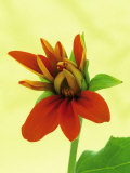 Mexican Sunflower Prints by Wally Eberhart