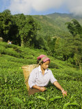Woman Tea Picking, Goomtee Tea Estate, Kurseong, West Bengal, India Photographic Print by Jane Sweeney