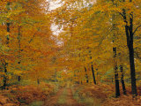 Beech Trees in Autumn, Surrey, England Photographic Print by Jon Arnold