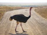 Struthio Camelus, Ngorongoro Conservation Area, Tanzania Photographic Print by Ivan Vdovin