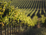Vineyard, Napa, Napa Valley, California, USA Photographic Print by Walter Bibikow
