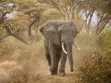 Loxodonta Africana, Lake Manyara National Park, Tanzania Fotografisk tryk af Ivan Vdovin