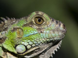 Green Iguana, San Iguacio, Belize Photographic Print by Jane Sweeney