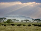 African Buffalo, Serengeti National Park, Tanzania Fotografie-Druck von Ivan Vdovin