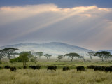 African Buffalo, Serengeti National Park, Tanzania Photographic Print by Ivan Vdovin