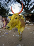 Painted Cow, Mysore, Karnataka, India Photographic Print by Michele Falzone