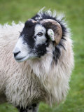 Herdwick Sheep, Borrowdale, Lake District, Cumbria, England Photographic Print by Doug Pearson