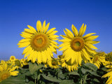 Sunflowers, Provence, France Photographic Print by Steve Vidler