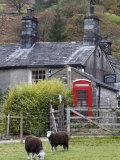 Herdwick Sheep and Cottage, Borrowdale, Lake District, Cumbria, England Fotoprint van Doug Pearson