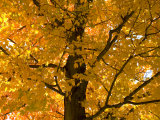 Autumn Leaves, Vermont, New England, USA Photographic Print by Demetrio Carrasco