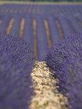 Alpes-De-Haute-Provence, Valensole, Lavendar Fields, Provence-Alpes-Cote D'Azur, France Photographic Print by Alan Copson
