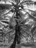 Eliot Elisofon - Native Preparing to Harvest the Coconuts Fotografická reprodukce