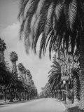 Palm Tree-Lined Street in Beverly Hills Lámina fotográfica por Alfred Eisenstaedt
