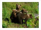 Alaska Kodiak Bear Cubs Giclee Print by Charles Glover