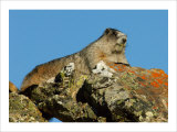 Marmot in Alaska Giclee Print by Charles Glover
