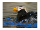 Horned Puffin, Alaska Giclee Print by Charles Glover