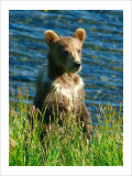 Kodiak Bear Cub Giclee Print by Charles Glover