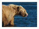 Kodiak Bear Lick Giclee Print by Charles Glover