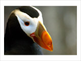 Alaska Puffin Wisdom Giclee Print by Charles Glover