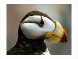 Puffin Profile Giclee Print by Charles Glover