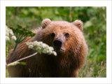 Alaska Spring Kodiak Bear Giclee Print by Charles Glover