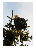 Bald Eagle in Pine Giclee Print by Charles Glover