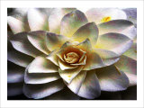 Flower in Full Bloom Giclee Print by Stephen Lebovits