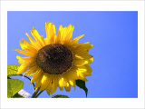 Sunflower Splendor Giclee Print by Stephen Lebovits